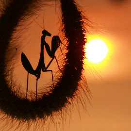 Pray at Sunset by Thomp Jerry - Animals Insects & Spiders