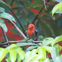 Scarlet-Headed Flowerpecker