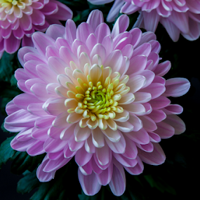 Chrysanthemums by Anita  Christine - Flowers Flower Gardens ( plant, nature, chrysanthemum, pink, spring, flower, closeup,  )