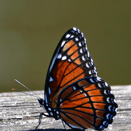 Butterfly by Bill Telkamp - Novices Only Wildlife ( butterfly, nature, wildlife )