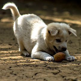 by Latip Saputro - Animals - Dogs Playing