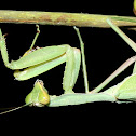 Common Green or Giant Mantid