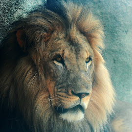 King by Fred Regalado - Animals Lions, Tigers & Big Cats ( Africa, Safari )