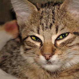 Percy by Christine May - Animals - Cats Kittens ( kitten, cat, animals, kitten portrait, pets, feline, photography, animal,  )