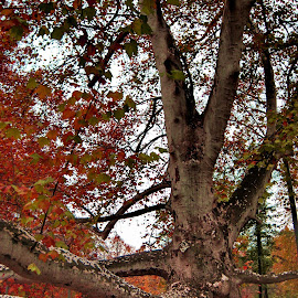 by Dragana Jankovic - Nature Up Close Trees & Bushes ( autumn, belgrade, old tree, nature up close, autumn colors, topčider,  )