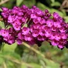 Buddleja or Buddleia