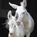 White (cream) donkey