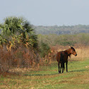 Florida Cracker Horse