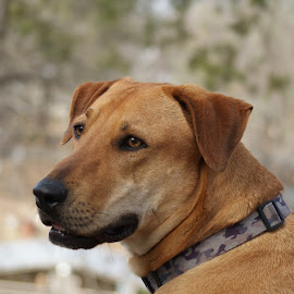 The Portrait by Pearl Doyle - Animals - Dogs Portraits ( canine, brown, rodesian ridgeback, dog, portrait )