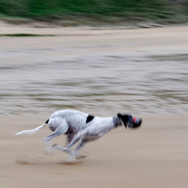 Motion by John Carr - Animals - Dogs Running ( blurred, speed, racing, action, greyhound, beach, fast, motion, dog, running,  )