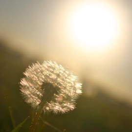 Not a Weed by Kaitie James - Nature Up Close Other plants ( plant, nature, dandelion, grass, weed, crooked, flare, flower, closeup, sun )