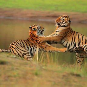 Tiger Fight by Jineesh Mallishery - Animals Lions, Tigers & Big Cats