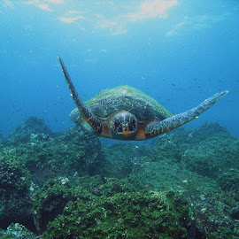 Flying Turtle by Phil Bear - Animals Sea Creatures ( underwater, sea turtle, galapagos, reptile, turtle )