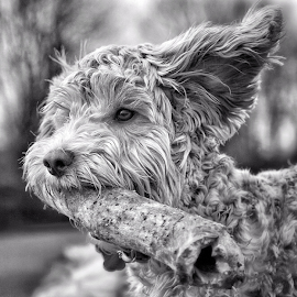 Love lay boy  by Michael  M Sweeney - Animals - Dogs Puppies ( natural light, nikonshooter, d3, black and white, labradoodle, play, puppy, dog portraits, michael m sweeney, puppy portrait,  )