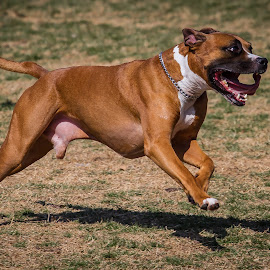 Happy by Ron Meyers - Animals - Dogs Running