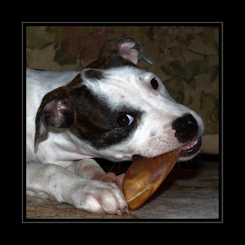 Snack Time by Janet Lyle - Animals - Dogs Puppies ( puppies, boxer, pitbull )