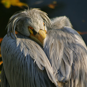 Pelecanus crispus by Zeljko Kustec - Animals Birds ( pelecanus crispus, pelican )