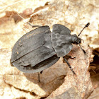 Ridged Carrion Beetle