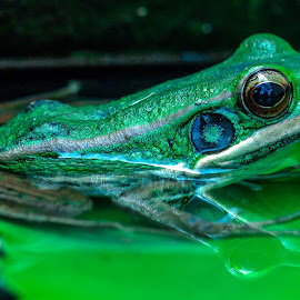 Green Frog by Ariya Namwong - Animals Amphibians ( bangkok, nature, frog, penny )