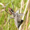 Banded Garden Spider w/Wheel Bug