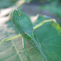 Common True Katydid nymph