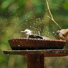 Blyth's Starling by J Venkat - Animals Birds ( water, bathing, splash, drops, birds )