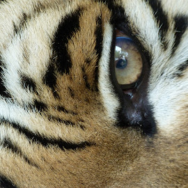 Eye of the Tiger by John Buckland - Animals Lions, Tigers & Big Cats ( big cats, tigers, endangered animals, close ups, eyes )