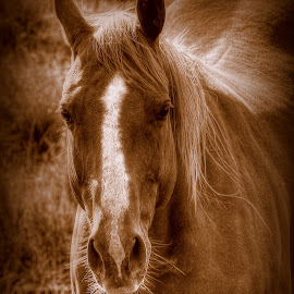 A Mare ica by Ryan Smith - Animals Horses
