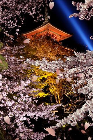 夜桜 ライブ壁紙