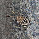 Gum Tree Shield Bug Nymph