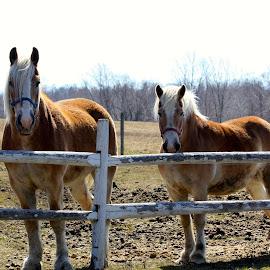 Working Horses by Ernie Easter - Animals Horses (  )