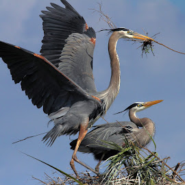 Great Blue Herons Building a Nest by Sandra Blair - Animals Birds ( bird, wading bird, wetlands, florida, nest, wader, heron, great blue,  )