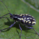Yellow spotted weevil