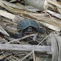 Three Striped Mud Turtle