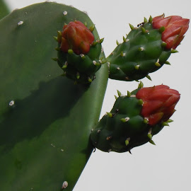 CACTUS ENTANGLED by Gielyne Yu - Nature Up Close Other plants ( flowering, red flower, thorny, plants, cactus,  )