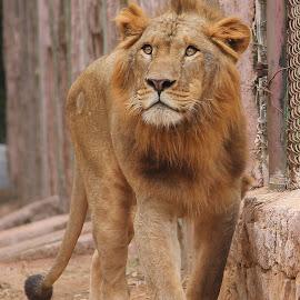 lion by Niraj Jha - Animals Lions, Tigers & Big Cats