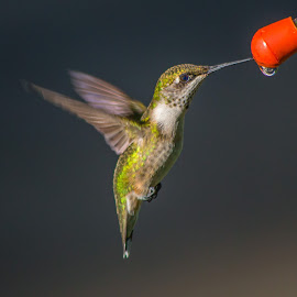 Ruby-Throated Hummer by Jennifer McWhirt - Animals Birds ( birds flying, animals, photographybyjenmcwhirt.com, hummers, birds, hummingbirds,  )