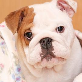 Cosy by Mia Ikonen - Animals - Dogs Puppies ( english bulldog, finland, cute, endearing, portrait )
