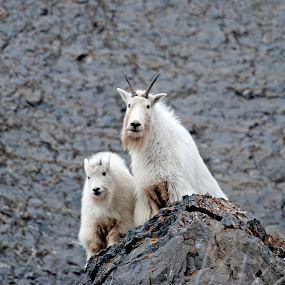 Mountain Goat1 by Cody Hoagland - Animals Other Mammals