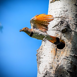 Idaho flicker by Gayle Wilcox - Novices Only Wildlife ( idaho, flicker, birds )