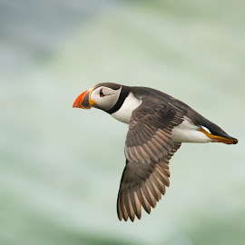 Puffin Flight by Greg Sinclair - Animals Birds ( bird, animals, nature, birds, puffin, animal )