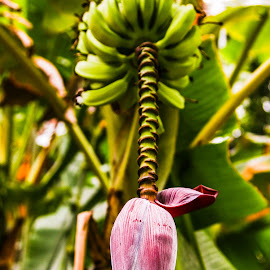 Wild Bananas by Hennie Combrinck - Nature Up Close Gardens & Produce ( wild, bananas, fruits, flower )