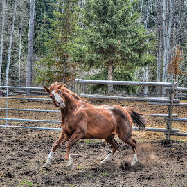 Horsing About by Skye Ryan-Evans - Animals Horses ( horse humour, stallion, horse-lovers, horsing about, funny horse, horse, horse humor, chestnut horse, show jumper, ranch horse )