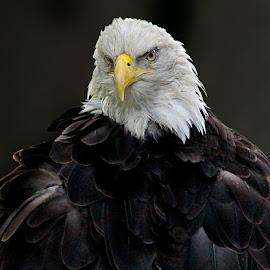Eagle Portrait by John Larson - Animals Birds