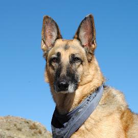 Pear is pretty by Tyler McLeod - Animals - Dogs Portraits ( co, blue sky, old dog, german shepherd dog, colorado, dog portrait, german shepherd, dog, dog with bandanna, pretty dog )