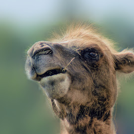Howdy by Sheen Deis - Animals Other Mammals ( nature, camels, high quality, in focus )