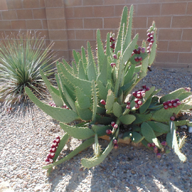 The Cactus Gardens by SHARON ARMIJO - Landscapes Deserts ( fruit, gardens, soil, produce, cactus )