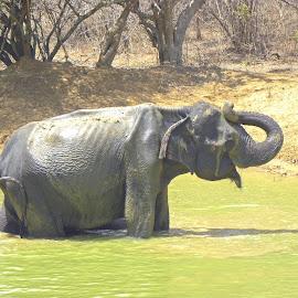 Elephant by Jaliya Rasaputra - Animals Other Mammals