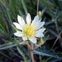 Many-Flowered Evening Primrose