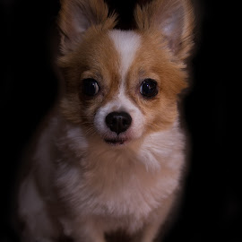 by Dan Giuliante - Animals - Dogs Portraits ( chihuahua )